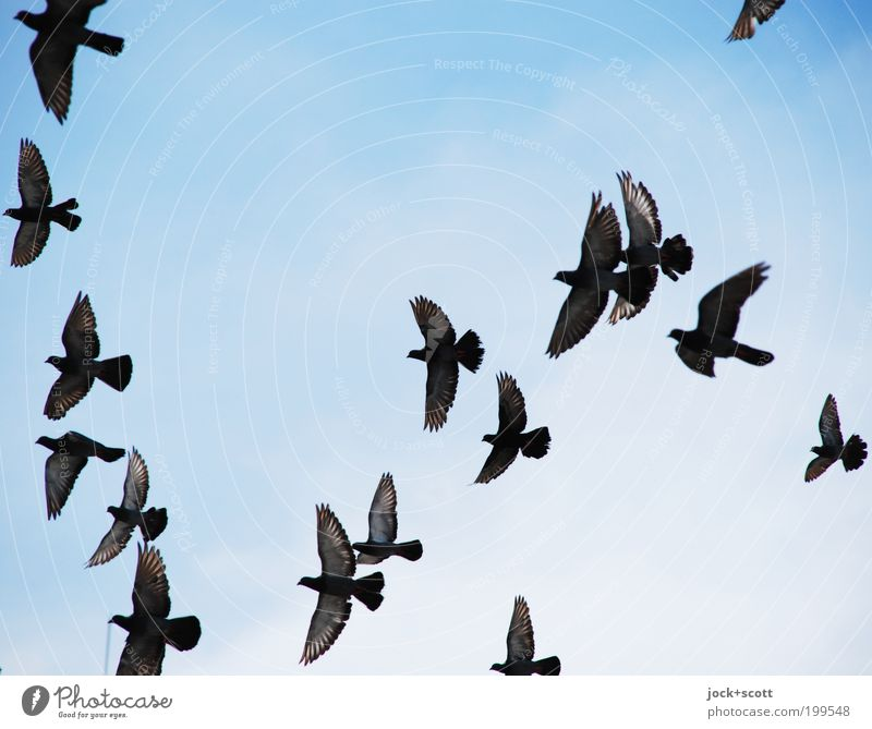 swarm of birds Blue Far-off places Life Movement Natural Flying Contentment Free Feather Wing Simple Cloudless sky Direction Ease Snapshot Hover