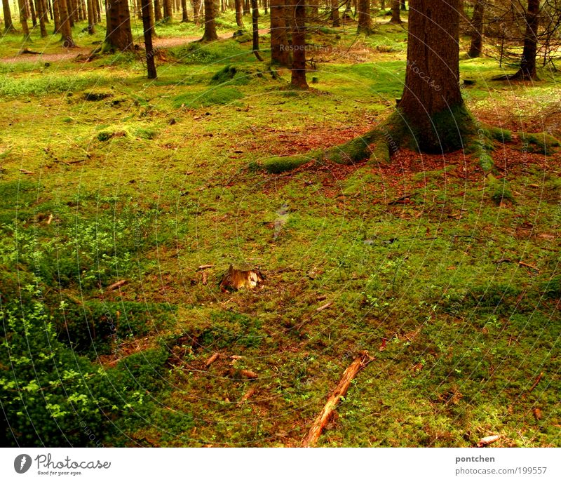 Moss-covered forest. Beautiful light. Forest floor. Nature, environmental protection. Trip Environment spring Plant tree Grass Wild Soft Brown green Force wood