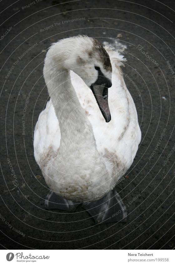 White Summer Animal Dream Bird Fear Dangerous Feather Wing Protection Wild animal Neck Beak Timidity Swan Perturbed