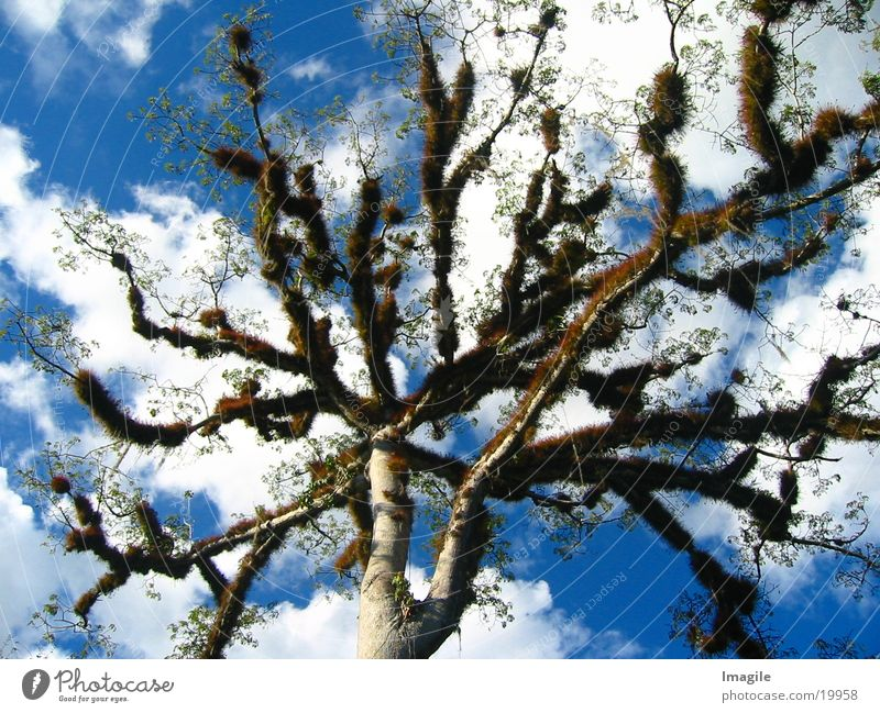 Tree Central America Guatemala