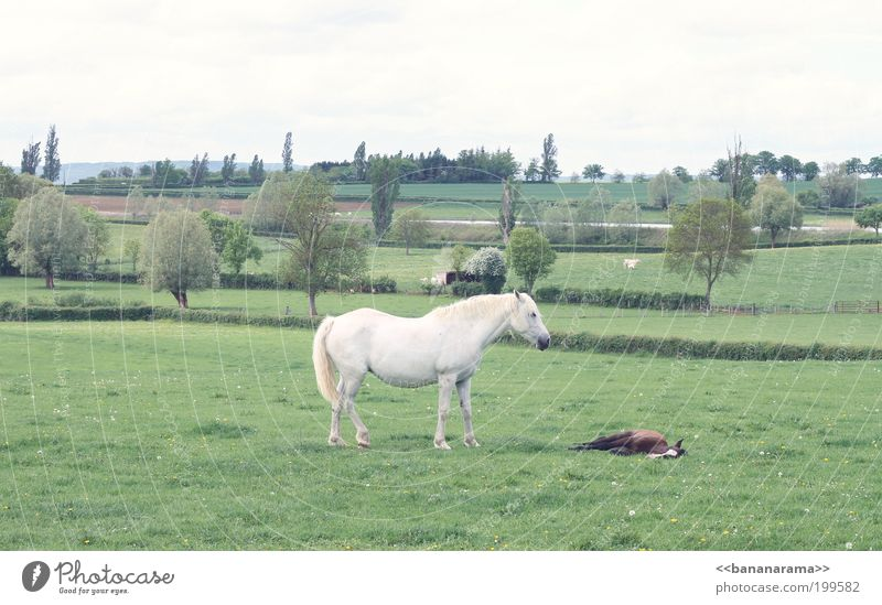 Nature White Green Calm Animal Far-off places Meadow Landscape Field Pair of animals Sleep Horse Esthetic Protection Fatigue Watchfulness