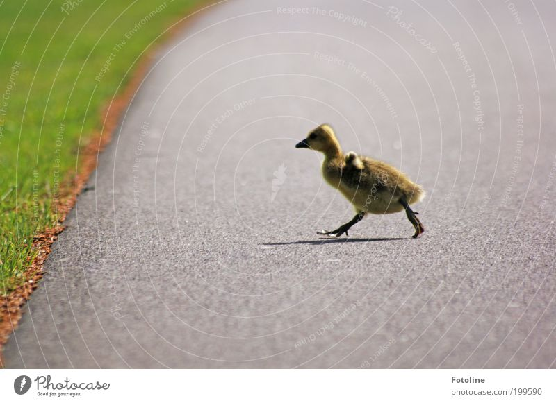 Nature Animal Grass Spring Lanes & trails Park Warmth Bird Walking Environment Running Wild animal Beautiful weather Goose Chick