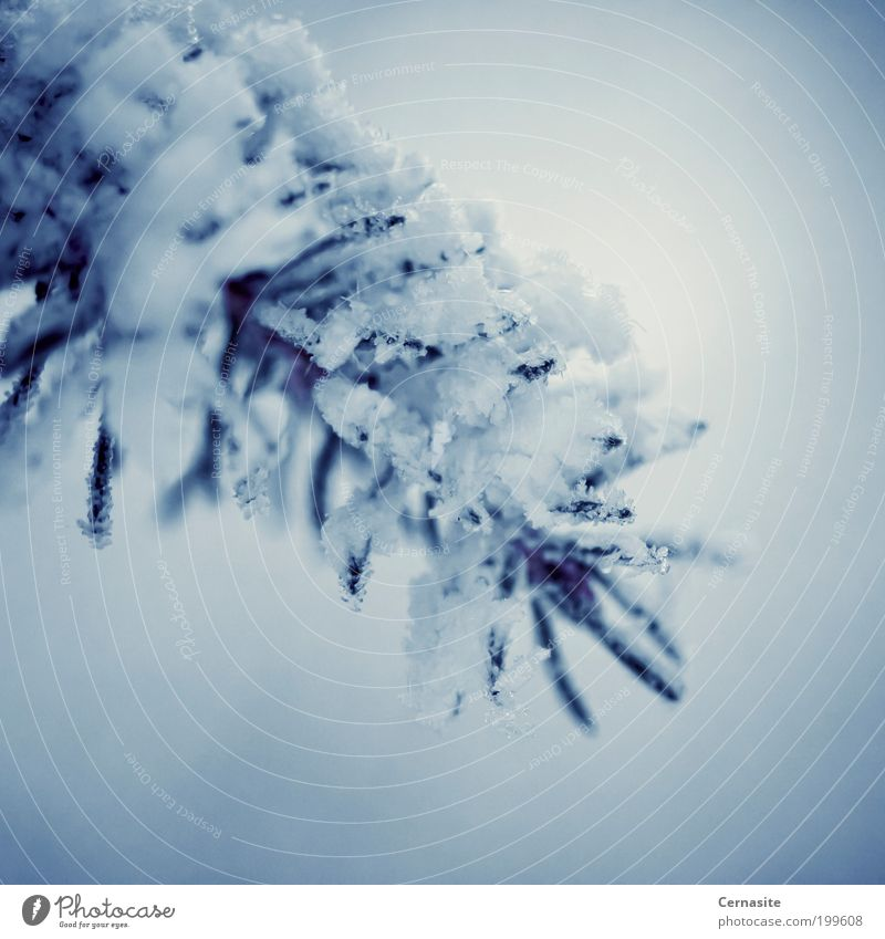Frostbitten Nature Plant Winter Tree Blue White Emotions Moody european spruce Spruce Shoot Simple Sweden Europe Snow Cold Dark Ice needles Sharp Colour photo