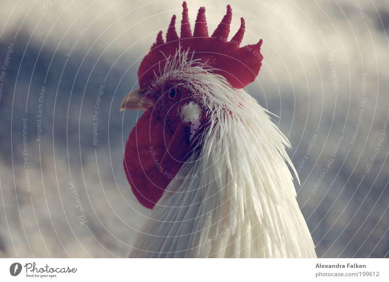 Animal Bird Esthetic Pet Pride Barn fowl Farm animal Plumed Rooster Cockscomb