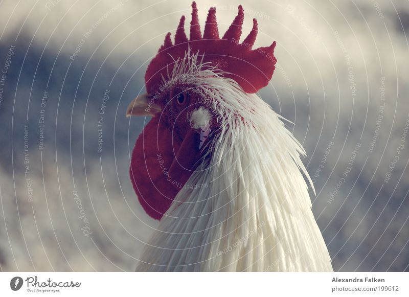 Animal Bird Esthetic Pet Pride Barn fowl Farm animal Plumed Rooster Cockscomb