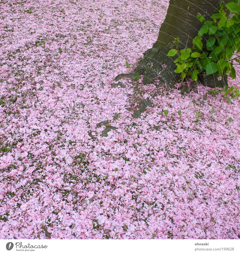 Nature Tree Plant Leaf Blossom Pink Environment Carpet Blossom leave Cherry blossom Agricultural crop