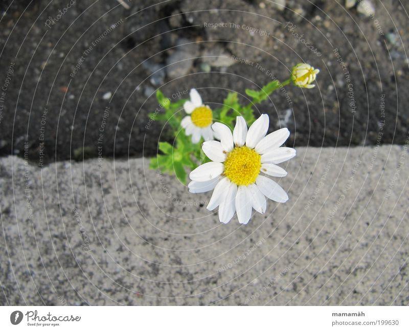 little flowers Nature Spring Flower Happiness Marguerite Concrete Roadside Stone floor Wayside Green White Blossom Blossoming survival artist Growth Flourish