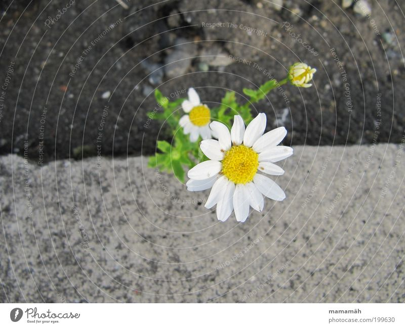 Nature White Flower Green Blossom Spring Small Concrete Happiness Growth Lanes & trails Blossoming Street Marguerite Roadside Transport