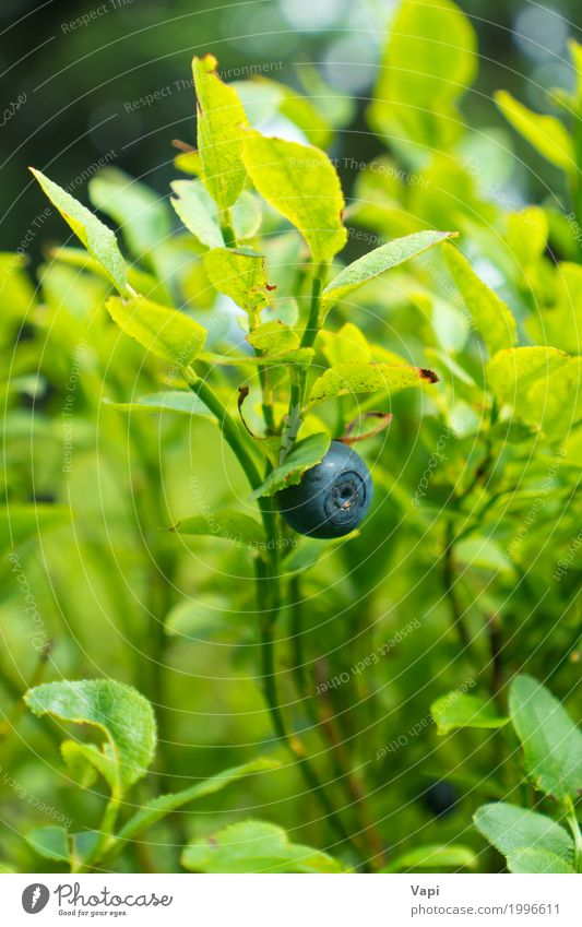 Wild blueberry in forest on the bush Fruit Nutrition Vegetarian diet Summer Nature Plant Spring Bushes Leaf Foliage plant Wild plant Garden Meadow Forest Fresh