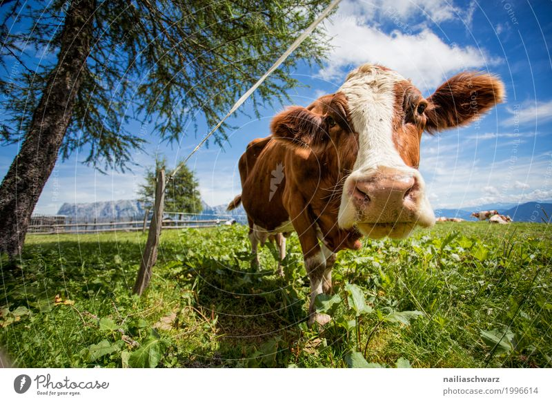 happy cow on the mountain pasture Summer Farmer Agriculture Forestry Environment Nature Landscape Plant Animal Grass Meadow Field Alps Mountain Alpine pasture