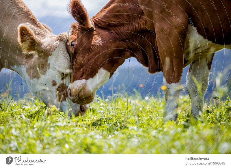 tenderness Summer Agriculture Forestry Nature Landscape Grass Meadow Field Alps Mountain Animal Farm animal Cow 2 Herd Stove & Oven Touch Relaxation To enjoy