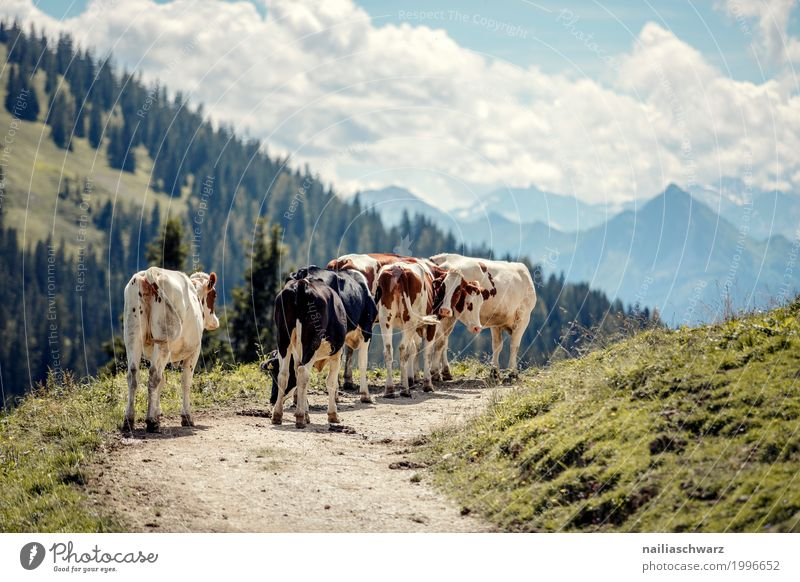 Cows in Alps Summer Agriculture Forestry Nature Landscape Beautiful weather Mountain Animal Farm animal Group of animals Herd Stove & Oven To feed To enjoy
