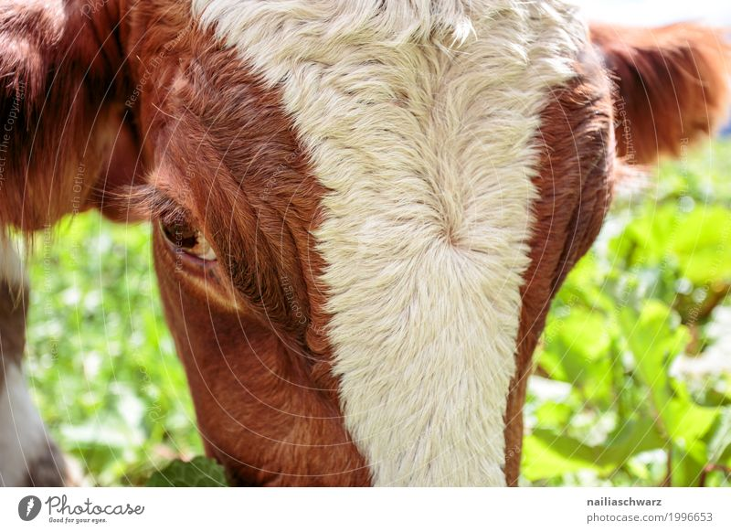cow Summer Agriculture Forestry Grass Animal Farm animal Cow Animal face 1 Observe To feed Looking Happiness Healthy Happy Natural Cute Brown Green White
