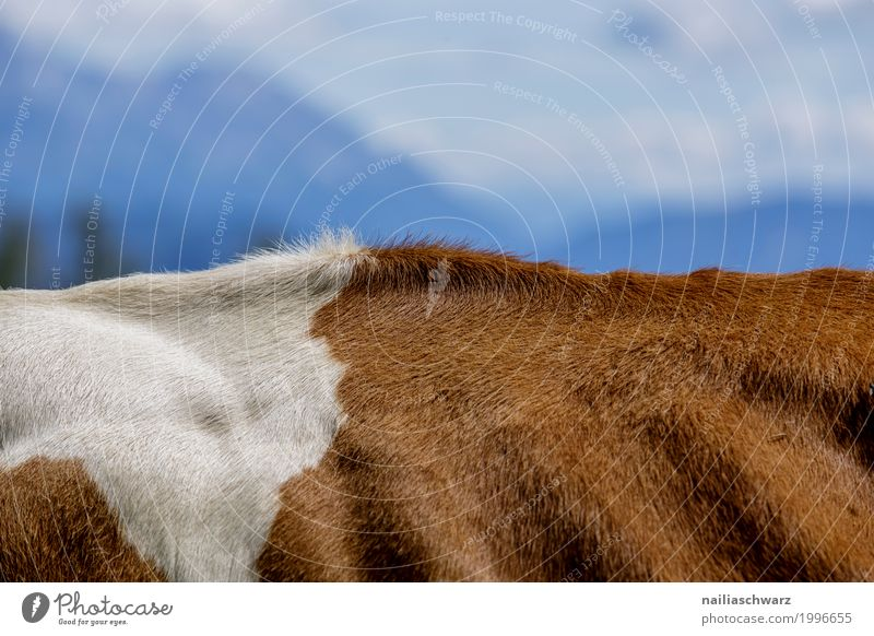 Kuhrückenlandschaft Summer Environment Nature Landscape Hill Alps Mountain Peak Animal Farm animal Cow Pelt Back 1 Stove & Oven Exceptional Simple Muscular