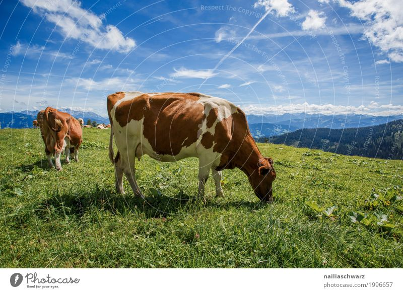 Cows on alpine meadow Summer Environment Nature Landscape Sky Grass Meadow Field Alps Mountain Alpine pasture Animal Farm animal 2 Animal family To feed Walking