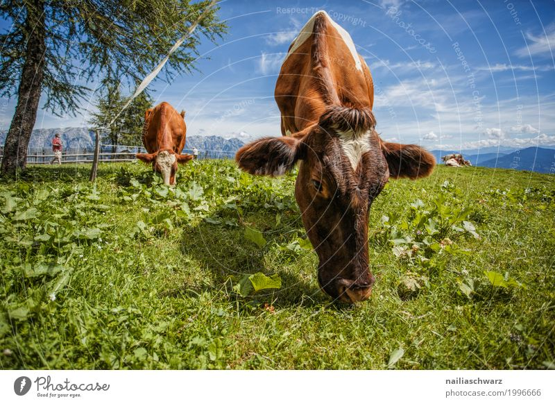 Cows in Alps Summer Agriculture Forestry Environment Nature Landscape Field Hill Mountain Animal Farm animal Herd Stove & Oven Relaxation To feed Simple Fresh