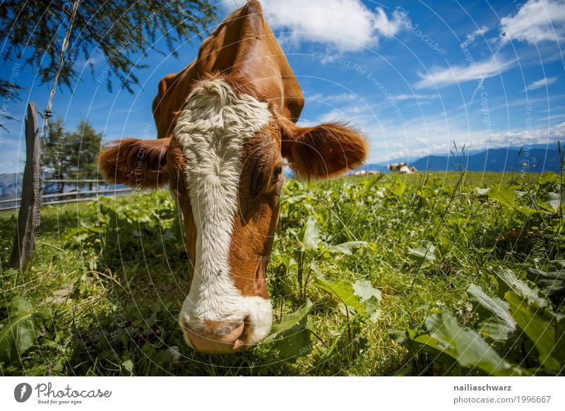happy cow on the mountain pasture Summer Farm Farmer Agriculture Forestry Environment Nature Landscape Sky Spring Grass Alpine pasture Meadow Alps Mountain