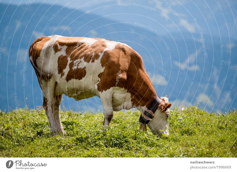 happy cow in Alps Summer Agriculture Forestry Environment Nature Landscape Spring Beautiful weather Grass Meadow Field Mountain Animal Pet Farm animal Cow 1