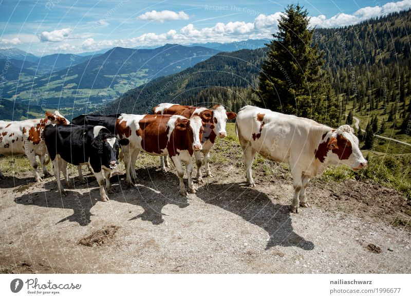 Cows in Alps Summer Agriculture Forestry Field Hill Mountain Animal Farm animal Group of animals Herd Walking Hiking Healthy Together Happy Infinity Natural