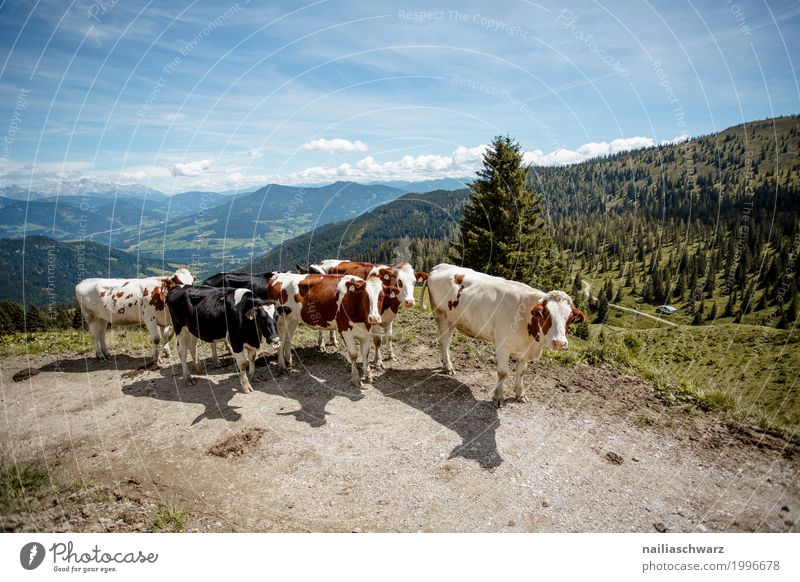 Cow herd in Alps Summer Agriculture Forestry Environment Nature Landscape Sky Spring Beautiful weather Meadow Mountain Animal Group of animals Herd Observe
