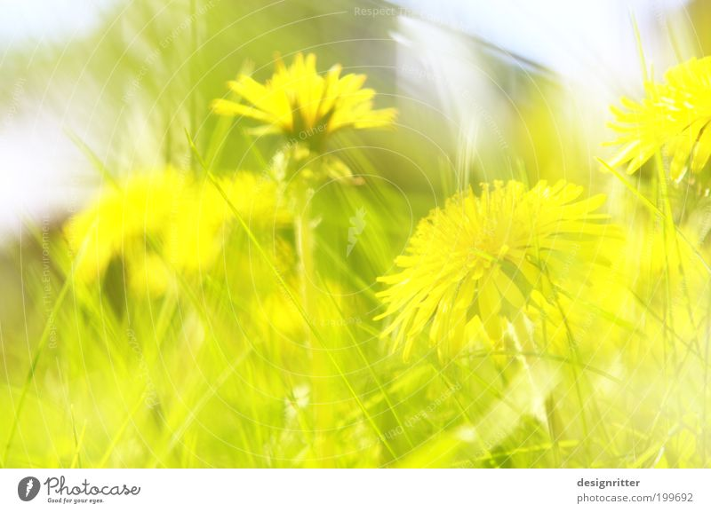 undesirably beautiful Spring Summer Weather Beautiful weather Warmth Grass Meadow Flower Dandelion Bright Wild Weed Weed control Uninvited Nature Freedom