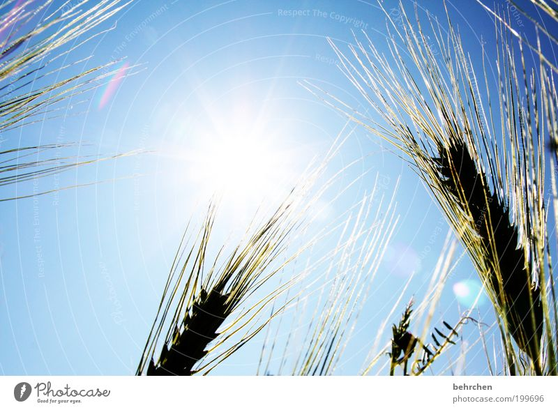 wishful thinking Environment Nature Landscape Cloudless sky Spring Summer Autumn Climate change Beautiful weather Plant Agricultural crop Power Cornfield Grain