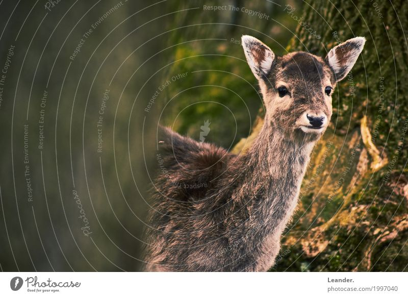 Bambi looks Environment Landscape Fawn 1 Animal Friendliness Brown Yellow Curiosity Roe deer Forest Nature Subdued colour Exterior shot Copy Space left