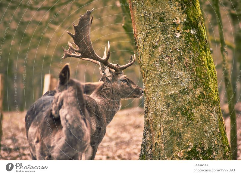 Nature Green Animal Forest Environment Yellow Brown Gold Stand Observe Tree trunk Environmental protection Autumnal Spring fever Deer Roe deer