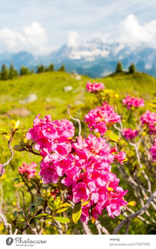 Nature Vacation & Travel Plant Calm Far-off places Mountain Life Happy Tourism Pink Trip Illuminate Hiking Idyll Blossoming Adventure