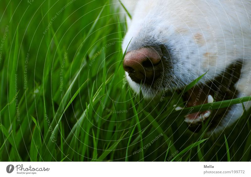 grazing Environment Nature Grass Meadow Field Animal Dog Snout Muzzle Nose Set of teeth Whisker 1 To feed To enjoy Exceptional Green White Appetite Bite Catch