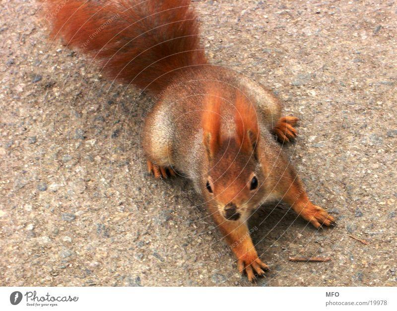 Red Sweet Pelt Cute Squirrel