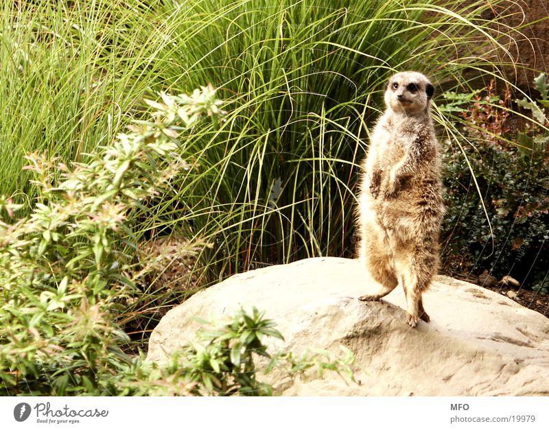 meerkats Sweet Cute Pelt Plush Zoo Looking peer