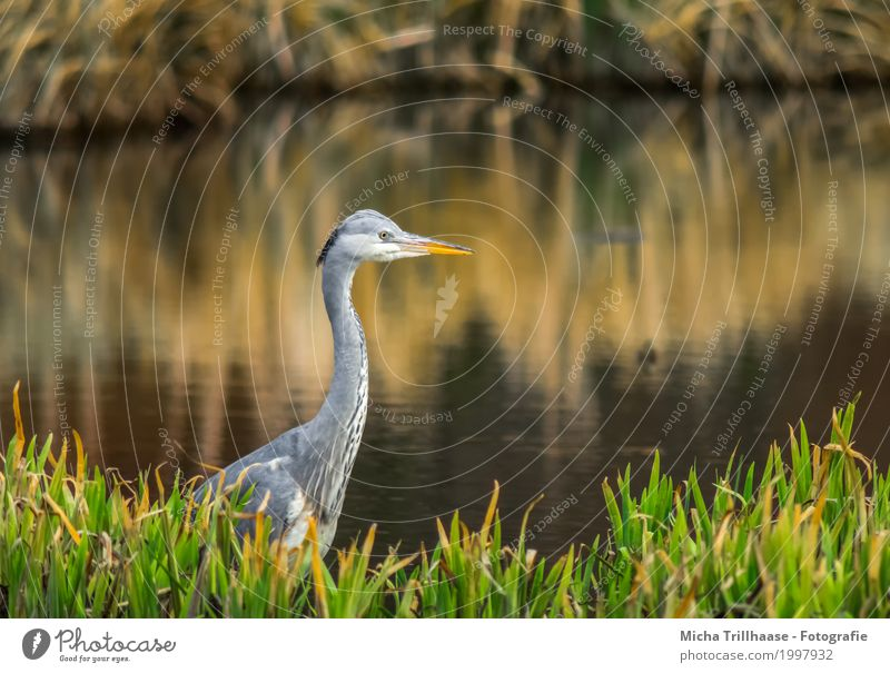 Grey heron in the reed on the lake shore Environment Nature Plant Animal Water Sun Sunrise Sunset Sunlight Beautiful weather Grass Wild plant Common Reed
