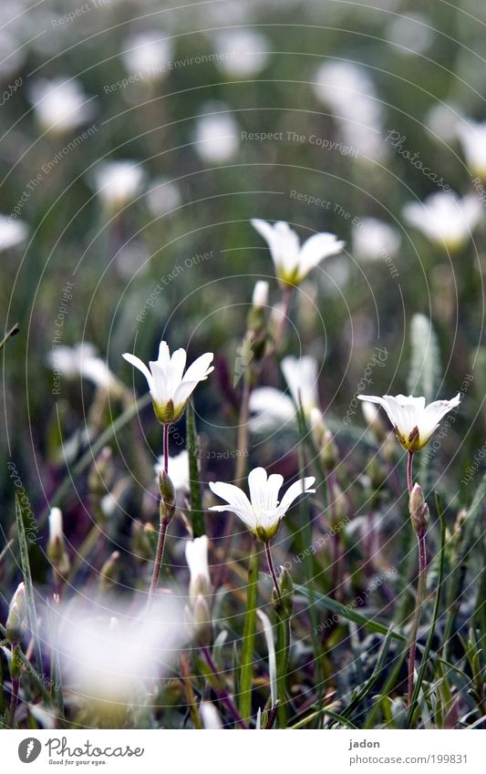 Nature Beautiful White Flower Green Plant Life Relaxation Meadow Blossom Grass Spring Growth Fragrance Flower meadow Modest