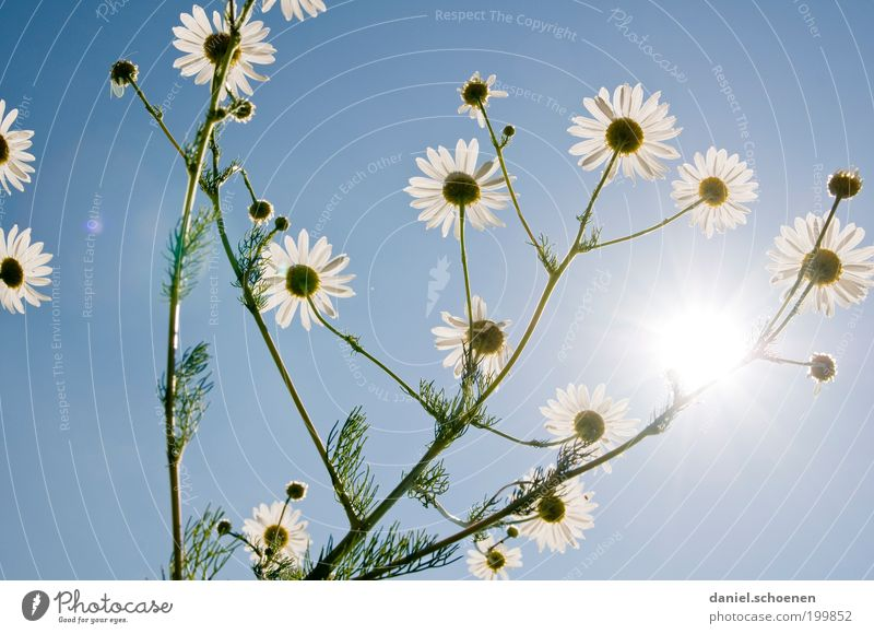 White Flower Blue Plant Summer Blossom Bright Healthy Fragrance Beautiful weather Herbs and spices Chamomile Medicinal plant Agricultural crop Cloudless sky