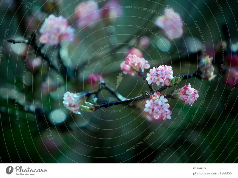 Nature Plant Beautiful Green Tree Winter Spring Blossom Garden Pink Elegant Fresh Bushes Blossoming Romance Twig