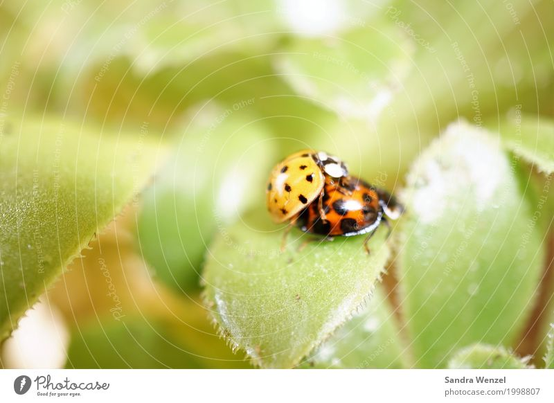 Ladybird II Nature Plant Spring Summer Leaf Beetle 2 Animal Pair of animals Select Crouch Crawl Sex Natural Red Love of animals Equal Environment