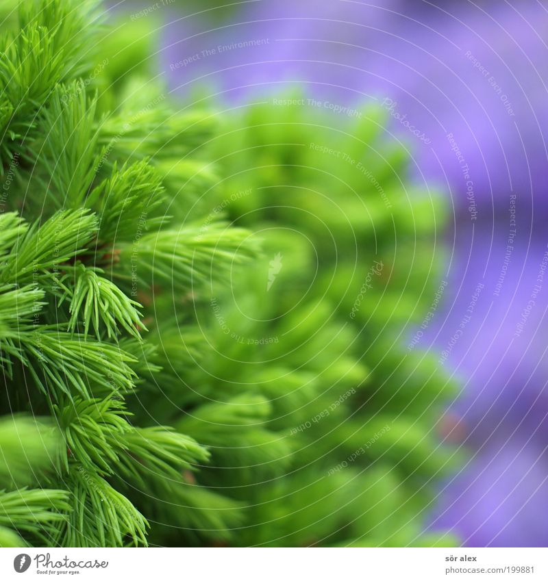 natural colours Nature Plant Spring Tree Fir tree Fir needle Illuminate Growth Happiness Fresh Natural Beautiful Green Violet Spring fever Love of nature
