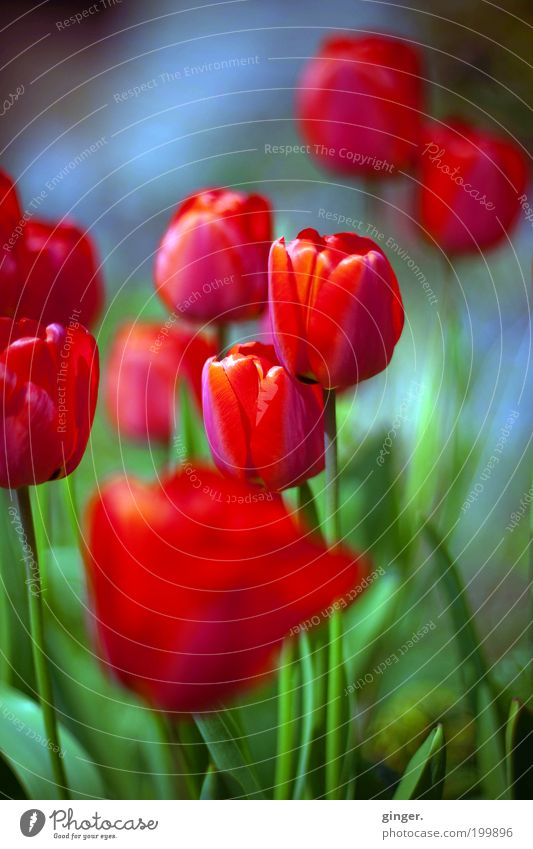 Nature Beautiful Plant Red Flower Spring Blossom Growth Multiple Delicate Thin Tulip Blossom leave Clear Bulb flowers