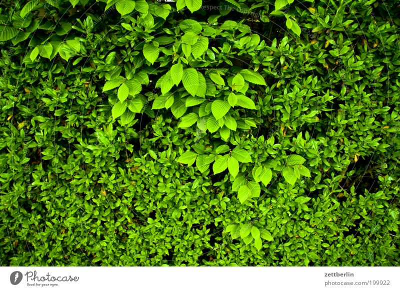 Small and medium leaves Leaf Green Leaf green Oxygen Hedge Relaxation Hiding place Spring Undergrowth Screening Recreation area Foliage plant Boundary line
