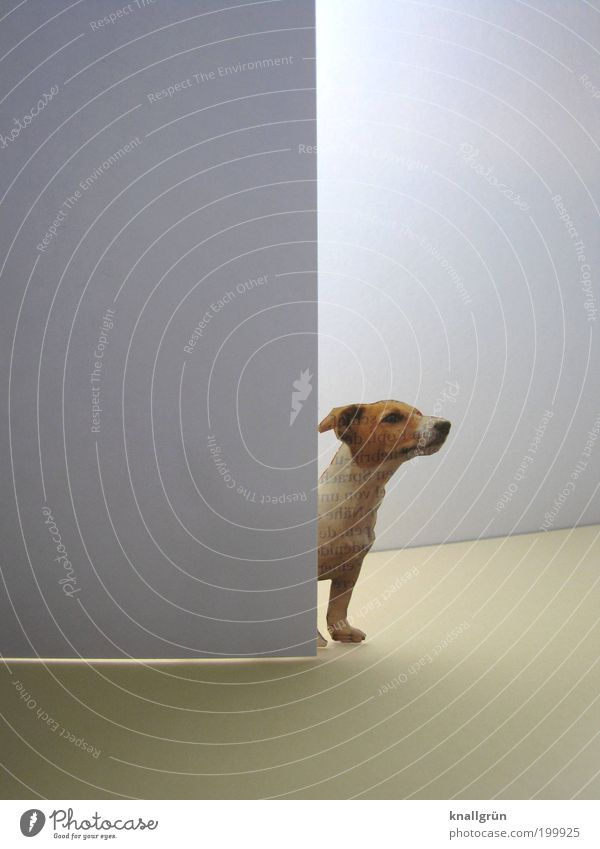 inquisitiveness Wall (barrier) Wall (building) Door Animal Pet Dog Terrier 1 Observe Stand Wait Bright Curiosity Cute Brown Gray White Watchfulness Interest