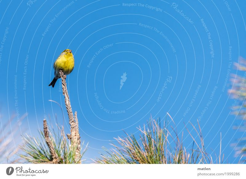 canary bird Tree Animal Bird 1 Sit Fresh Blue Yellow Green Canary bird Vantage point Above on the top Free Colour photo Exterior shot Close-up Deserted