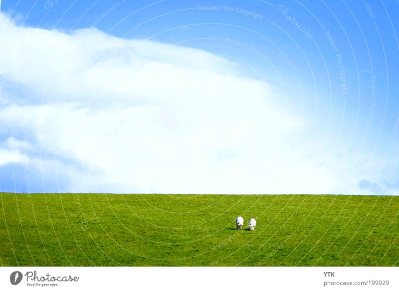 Irish Meadow Nature Plant Animal Sky Clouds Spring Summer Beautiful weather Grass Hill Farm animal 2 Herd Pair of animals To feed Growth Free Fresh Green
