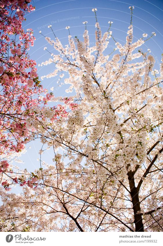 WHITE vs. PINK Environment Nature Landscape Plant Cloudless sky Spring Beautiful weather Warmth Tree Blossom Agricultural crop Wild plant Blossoming Growth