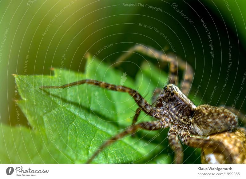 black eye Environment Nature Animal Summer Autumn Plant Leaf Park Meadow Forest Spider 1 Observe Looking Aggression Creepy Near Brown Gold Green Black Dangerous