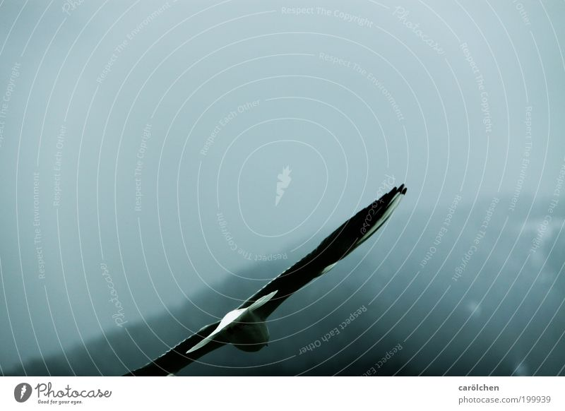 falling. Animal Bird 1 Flying Gloomy Gray Silver Serene Calm Hope Loneliness Seagull Dive Fog Colour photo Subdued colour Exterior shot Deserted Twilight