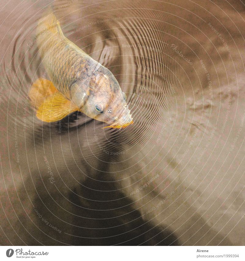 I'm gonna grab some air. Fish breeding Water Pond Fishpond Animal Scales Carp 1 Circle Waves Concentric Breathe Movement Swimming & Bathing Fluid Glittering