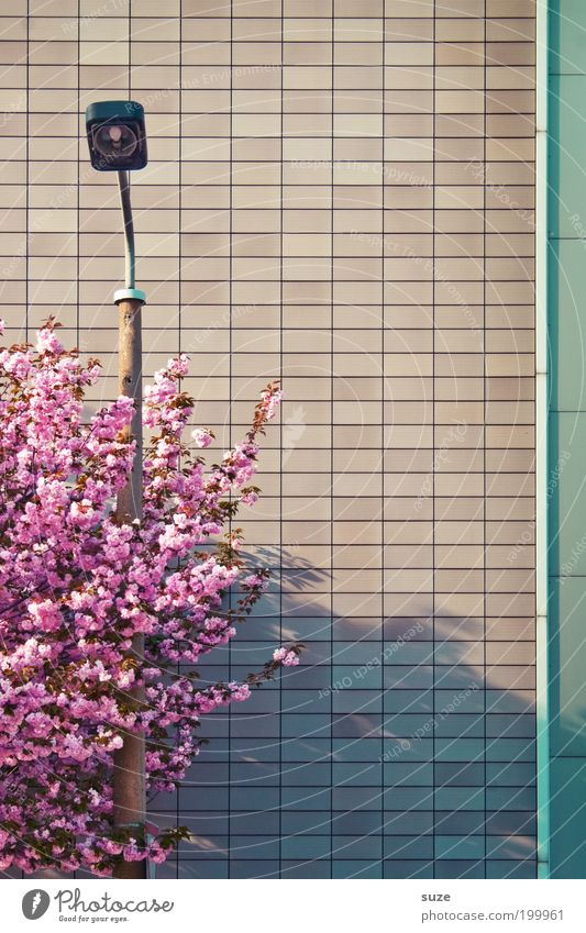 Nature Beautiful Tree Plant Wall (building) Environment Blossom Spring Pink Facade Arrangement Esthetic Growth Bushes Branch Delicate