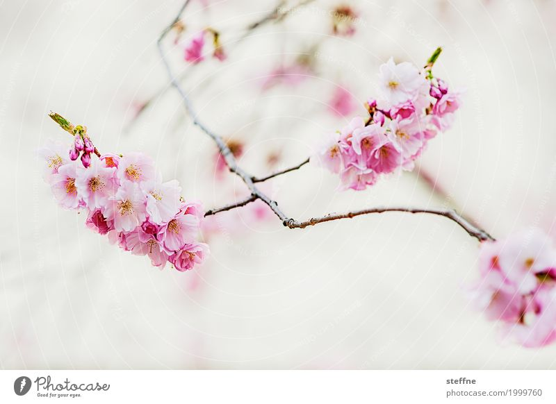Japanese cherry blossom Plant Spring Tree Blossom Exceptional Beautiful Warmth Blossoming Ornamental cherry Japanese garden Cherry blossom Delicate Pink