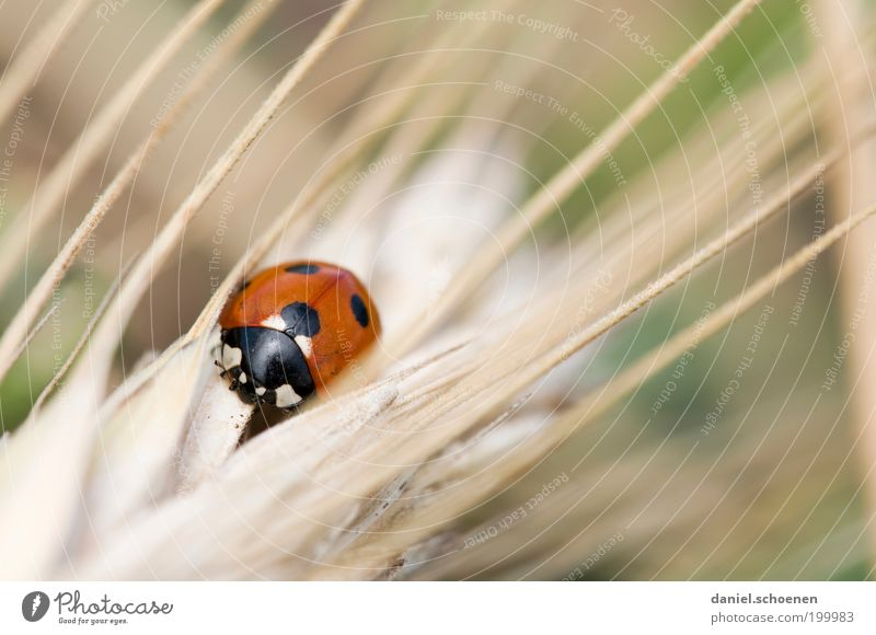 "from the series ""wild animals"" Nature Animal Summer Grass Farm animal Beetle 1 Red Happy Ladybird Animal portrait Good luck charm Point"